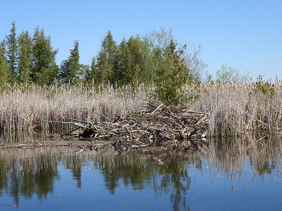 Beaver - lodge, does not appear to be actively maintained
