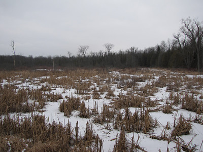 Muskrat - several lodges in area flooded by Beaver