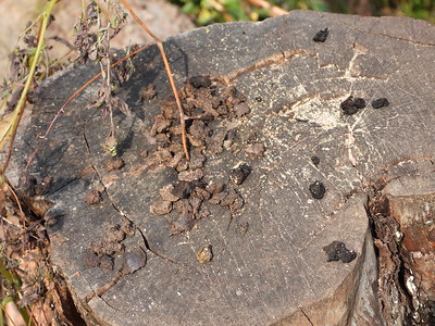 Red Squirrel - middens left after removing husk from walnut