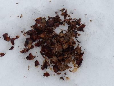 Red Squirrel - middens, parts of conifer cones