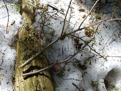 Porcupine - nip twigs