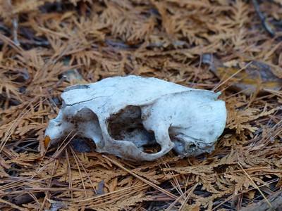 Porcupine - skull