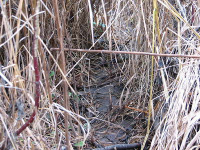Raccoon - trail