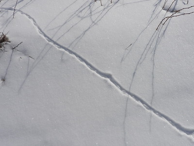 Northern Short-tailed Shrew - tracks & trail