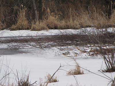 Beaver - winter cache