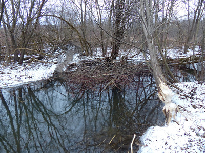 Beaver - lodge and winter cache