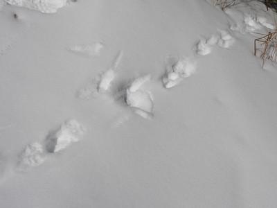 American Mink - tracks & trail
