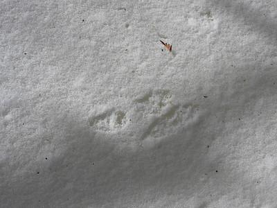 American Mink - tracks