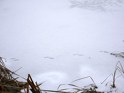 American Mink - tracks and trail