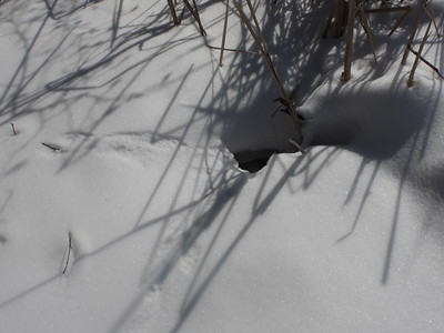 American Mink - tracks & access hole to river