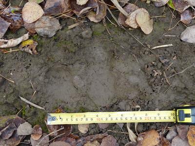 Black Bear - track