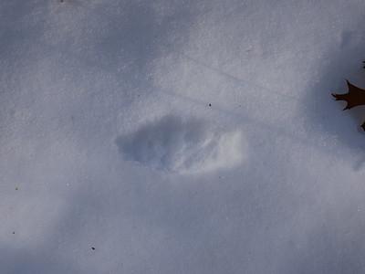Coyote - track