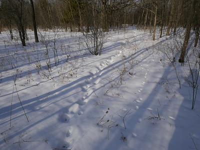 Coyote - tracks (along old human tracks), to the right is Red Fox trail