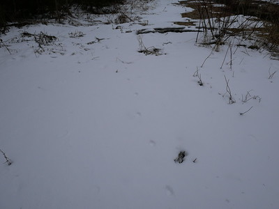 Coyote - tracks and trail