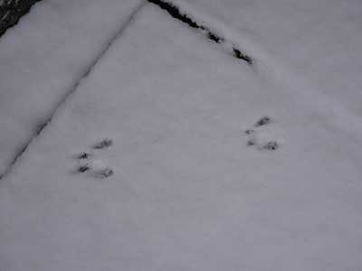 Eastern Chipmunk -  tracks