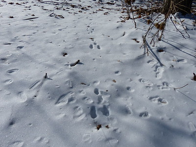 Eastern Cottontail - tracks & trail