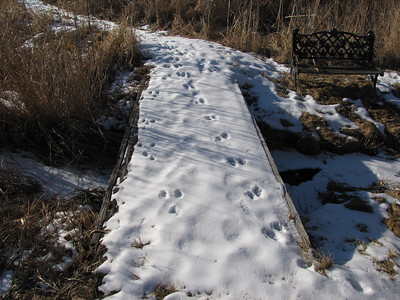 Raccoon tracks (R) and Eastern Cottontail tracks (L)
