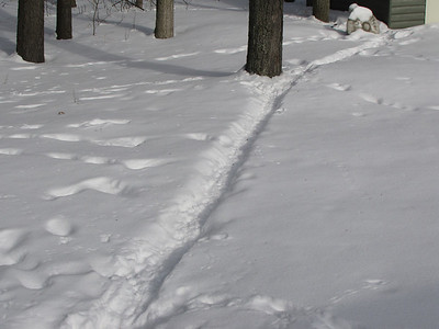 Eastern Cottontail - tracks and trail, also shared with Eastern Gray Squirrel