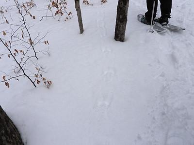 Eastern Gray Squirrel - tracks & trail