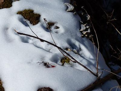Eastern Gray Squirrel - tracks