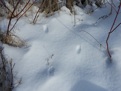 Ermine - tracks
