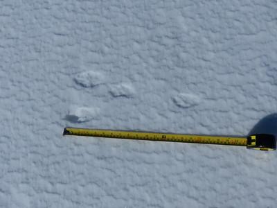 European Hare - tracks