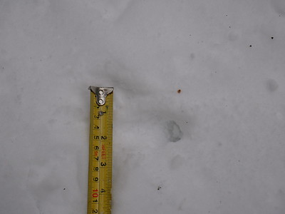 Long-tailed Weasel, tracks