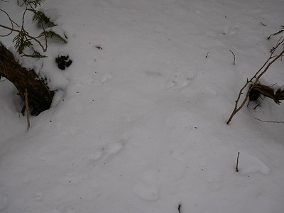 Long-tailed Weasel, tracks and trail