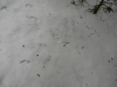 Long-tailed Weasel - tracks and trail