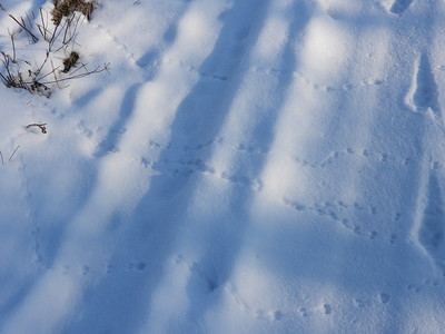 Masked Shrew - tracks & trails