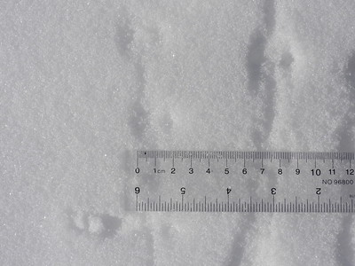 Masked Shrew - tracks
