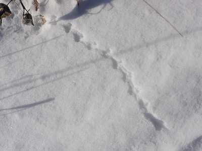 Masked Shrew - tracks & trail