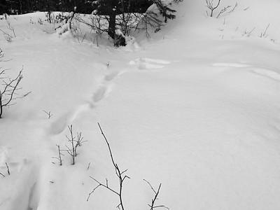 Moose - tracks & trail
