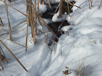 Muskrat - tracks and trail, successful entry into pond at spring-fed open area