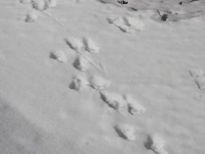 Northern River Otter - tracks