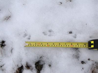Northern Short-tailed Shrew - tracks