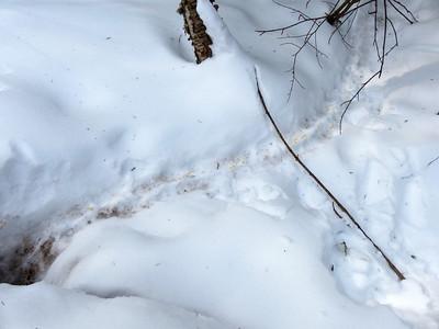 Porcupine - trail and tracks, plus some urine