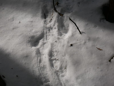 Porcupine - tracks and trail