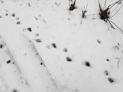 Raccoon - tracks & trail