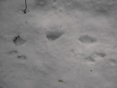 Raccoon - tracks (top), Long-tailed Weasel tracks below
