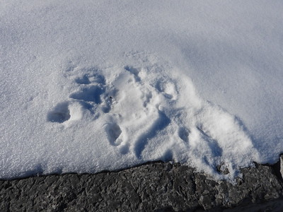 Red Fox - tracks and melted spot where the Fox sat
