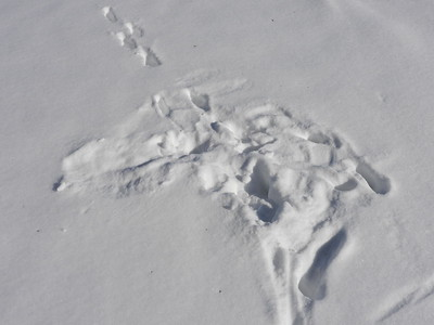 Red Fox - tracks, also shows hunting area