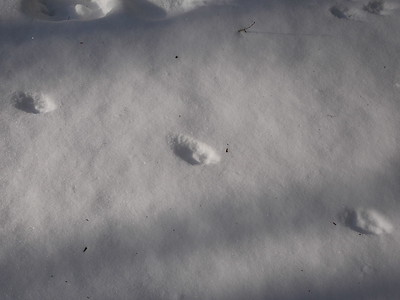 Red Fox - tracks