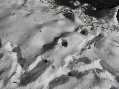 Red Squirrel - snow tunnel