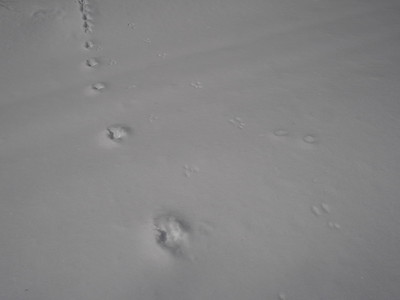 Red Squirrel - tracks and trails