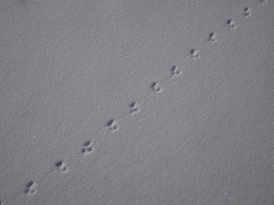 Smoky Shrew - tracks and trail