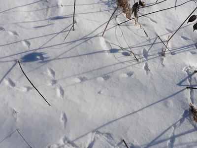 Smoky Shrew - tracks & trails
