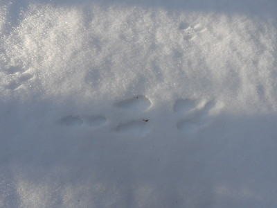 Snowshoe Hare - tracks (smaller tracks are Red Squirrel)