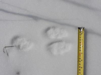 Snowshoe Hare - tracks