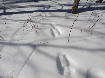 Snowshoe Hare - tracks & trail